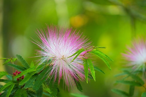 Acacia, Plant, Tree, Nature, Branch, Flower, Outdoor
