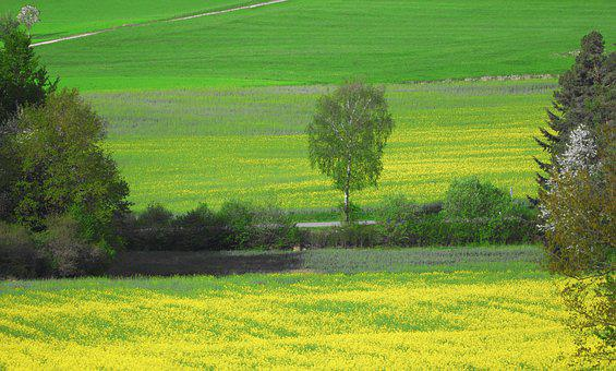 Field Of Rapeseeds, Field, Agriculture, Lane, Tree