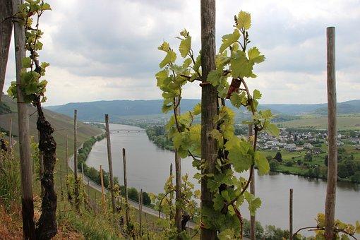 Mosel, Vineyard, Sachsen, Schweich, Spring, View, Bend