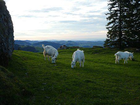 Goats, Grass, Agriculture, Landscape, Meadow, Panorama