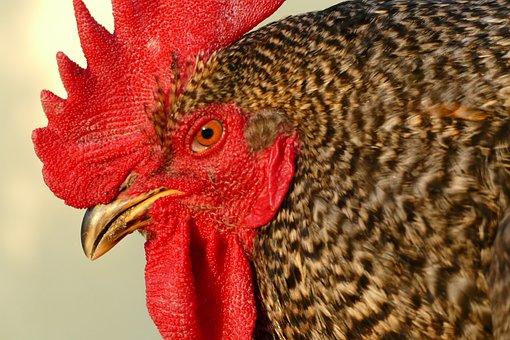 Cock, Economic, Animal, Outdoors, Economy, Pet, Poultry