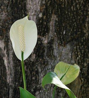 Anthurium, Tailflower, Flamingo Flower, Laceleaf, Pure