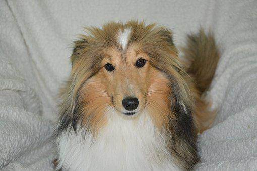 Dog, Bitch, Shetland Sheepdog, Bitch Nayana, Color Fawn