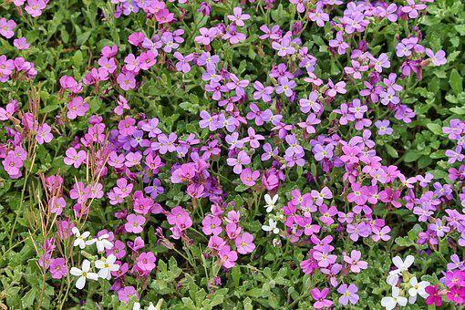 Blue Pillow, Aubrieta, Violet, Blossom, Bloom, Flower