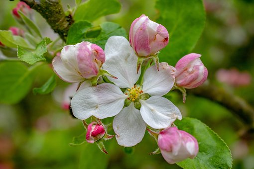 Apple Blossom, Blossom, Bloom, Flower, Nature, Plant