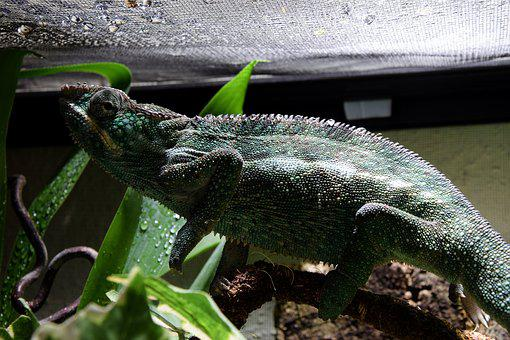 Chameleon, Drop Of Water, Terrarium, Head, Close Up