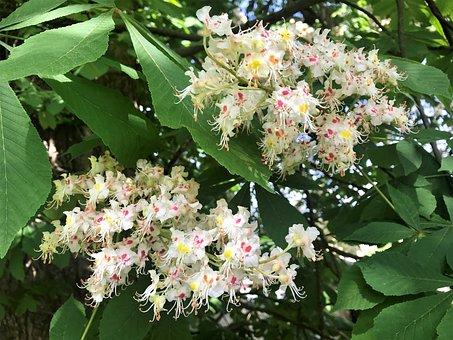 Chestnut, Flowers, Foliage, Nature, Chestnut In Bloom