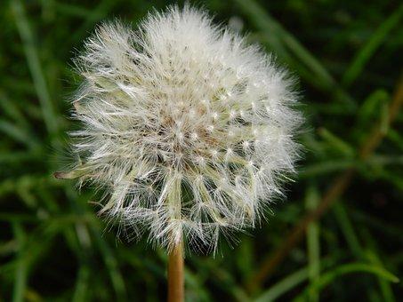Flower, Dandelion, Chmíří, Spring, Background