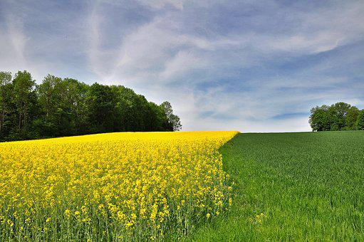 Nature, Landscape, Field, Field Of Rapeseeds