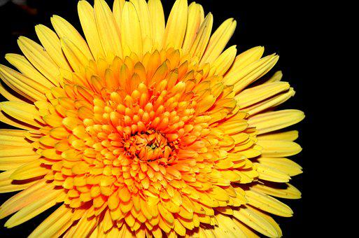 Gerbera, Flower, Summer, Vivid, Night