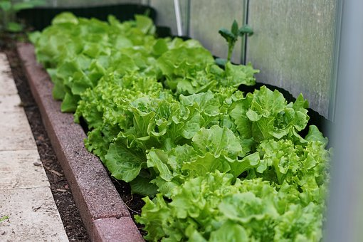 Vegetables, Food, Lettuce, Leaf, Plant, Greenhouse