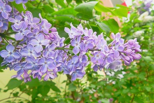 Flower, Plant, Nature, Garden, Blooming, Bush, Floral