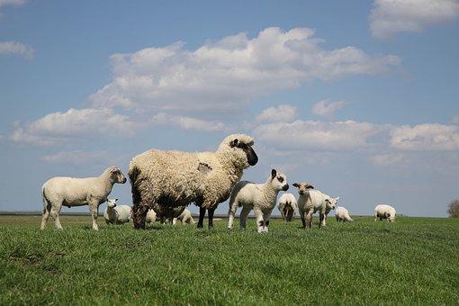 Zeedijk, Friesland, Sheep, Clouds, Lamb, Birds, Geese