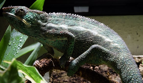Panther Chameleon, Chameleon, Head, Close, Tropical