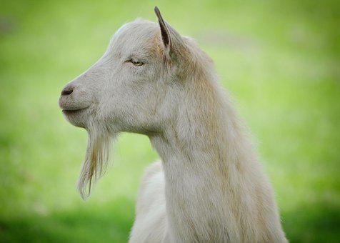 Goat, Animal, Mammal, Nature, Grass, Animal World