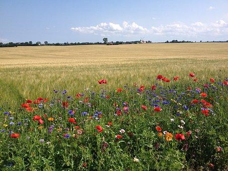 Flower, Poppy, Field, Meadow, Nature, Summer, Rural