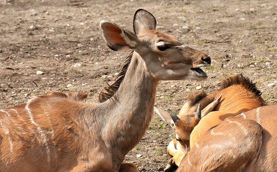 Common Eland, Wild Animal, African Animal, Nature