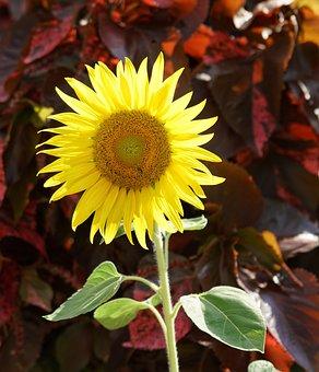 Sunflower, Nature, Flora, Leaf, Flower, Summer, Field