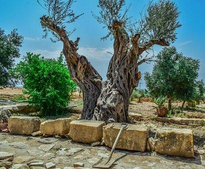 Olive Tree, Nature, Old, Flora, Stone, Kelia, Cyprus