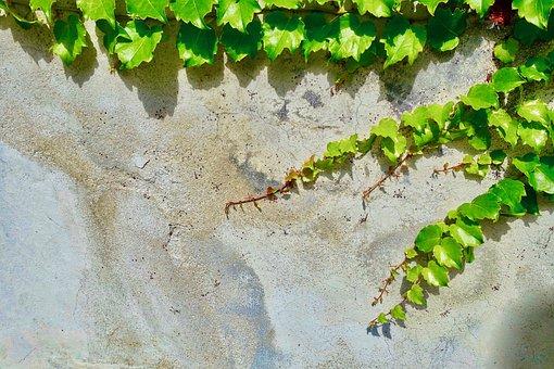 Vine, Plant, Desktop, Flora, Leaf, Growth, Nature