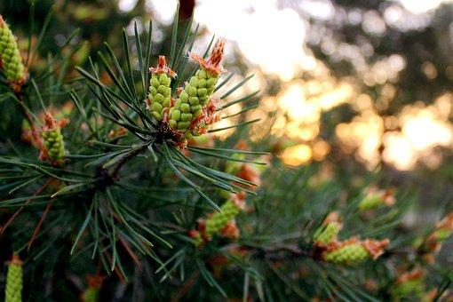 Tree, Nature, Season, Branch, Needle, Evergreen