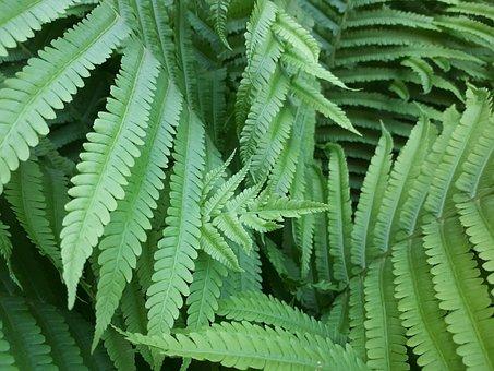 Sheet, Plant, No One, Nature, Shoots, Fern, Summer