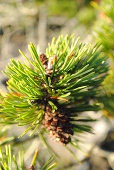 Needle, Tree, Nature, Pine, Flora, Evergreen, Cone