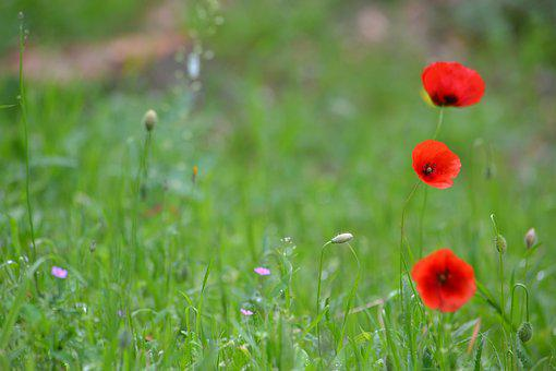Lawn, Hayfield, Natural, Field, Flower, Summer, Plant