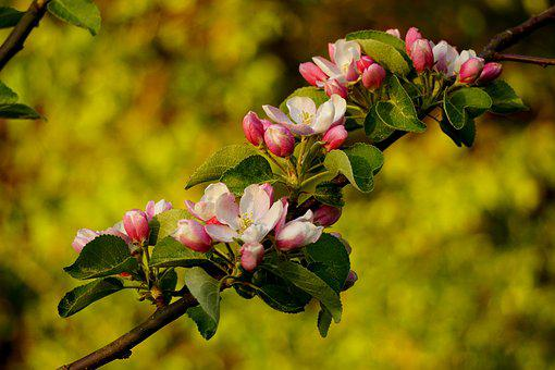 Apple Blossoms, Flowering Twig, Tree, Nature, Plant