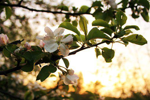 Tree, Nature, Plant, Season, Apple, Sheet, Flower