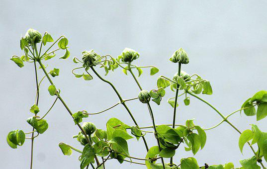 Clematis, The Buds, Boost, Spring, Leaf, Plant, Nature