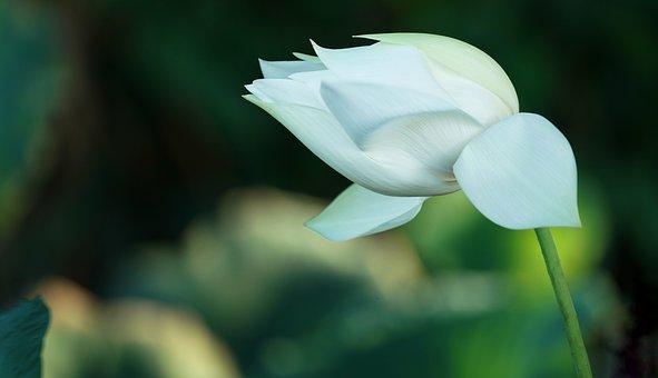 Indian Lotus, Lotus, Aquatic, Blooming, Pure, White