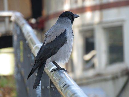 Raven, Crow, Bird, Fence, Railing, Animal World, Animal