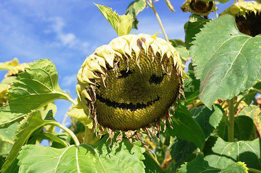 Sun Flower, Face, Smile, Nature, Plant, Leaf, Fruit