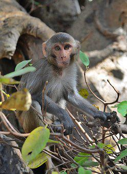 Monkey, Primate, Ape, Wildlife, Mammal, Wild Life