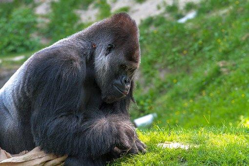 Gorilla, Monkey, Animal World, Silverback, Animal