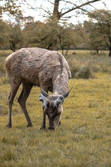 Mammal, Animal, Wildlife, Nature, Grass, Outdoors, Deer