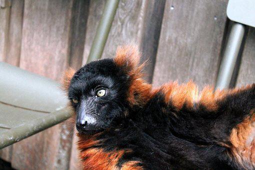 Red Ruffed Lemur, Rode Vari, Mammal, Portrait, Animal