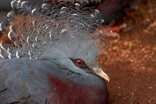 Bird, Krontaube, Animal World, Fan-deaf