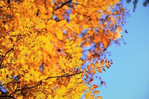 Autumn, Leaf, Season, Nature, Tree, Maple, Gold, Color