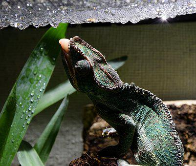 Chameleon, Chameleon Tongue, Drop Of Water, Head, Close