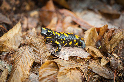 Leaves, Close-up, Fire Salamander, Landscape, Amphibian