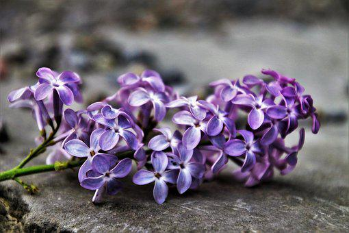 Without, Flower, Spring, Lilac, Nature, Plant, Floral