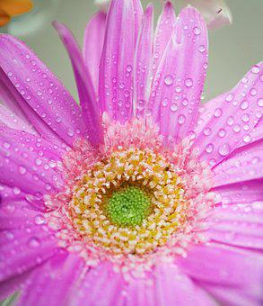 Flower, Flora, Petal, Nature, Beautiful, African Daisy