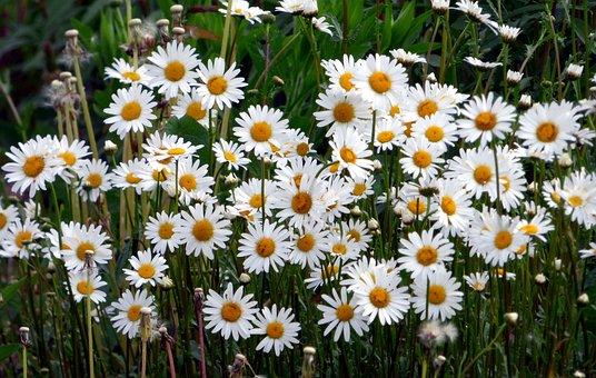 Marguerite, Flower, Nature, Plant, Spring, Flowering
