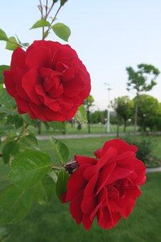 Red Rose, Flower, Nature, Rose, Plant