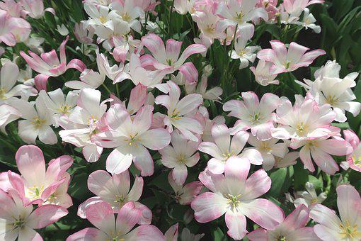 Tulip, Romantic, Pink, Flowers, Spring, Keukenhof, Bulb
