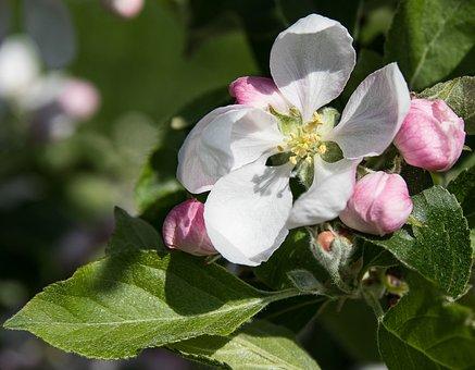Apple Blossom, Apple Tree Blossom, Fruit Tree, Spring