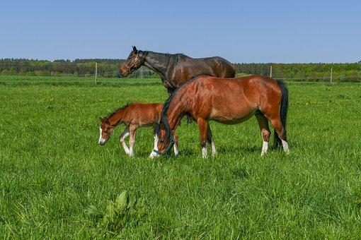 Horse Herd, Pony Filly, Meadow, Field, Grass, Farm