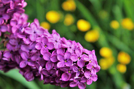 Without, Lilac, Spring, Blooms, Green, Flower, Nature
